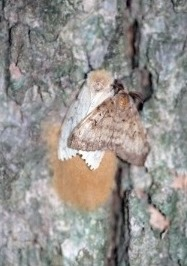 Male and female adult gypsy moths