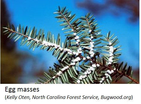 Hemlock woolly adelgid egg masses