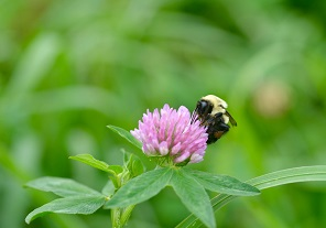 bumble bee on red clover sm horz.jpg