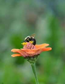 Bumble bee on zinnia