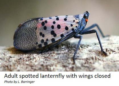 Adults spotted lanternfly with wings closed