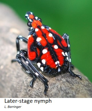 Spotted lanternfly later-stage nympth